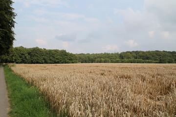 Ein Getreidefeld im Sommer