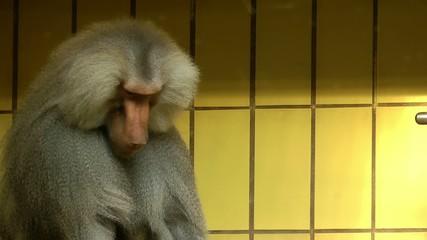 Orangutans Monkey