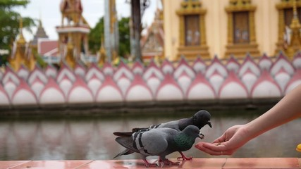Feeding Pigeons from Hand.