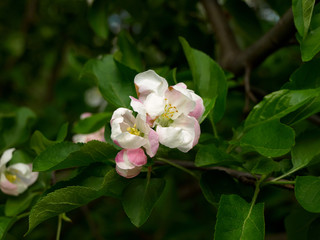 Apple-tree flowering