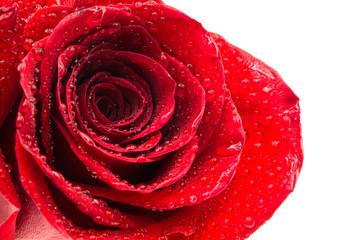 Frische Rote Rose