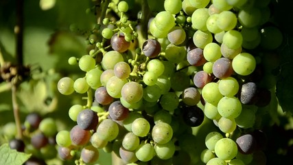 Invaiatura Veraison Véraison Envero Uva Grape