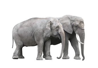 Pair of elephants isolated on white with clipping path