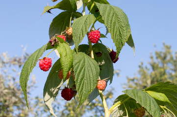 Maturation of red raspberries growing on a branch