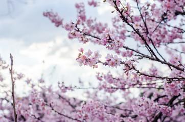 Sakura - Flor de cerejeira - Cherry blossom