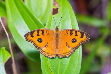 Peacock Pansy butterfly
