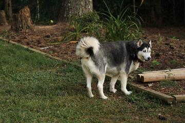 Husky in Yard