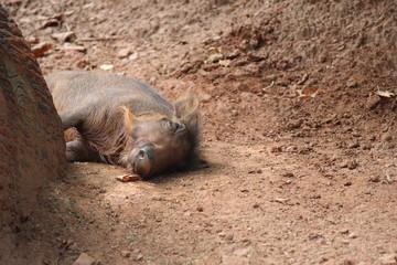 Baby Warthog Asleep