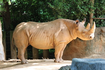 Large Mother Rhino