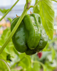 Green pepper on the plant ready to harvest