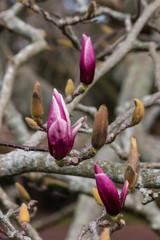 magnolia buds before blossom
