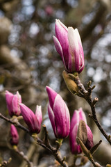 magnolia buds in early spring