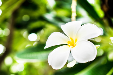 White and yellow plumeria flower