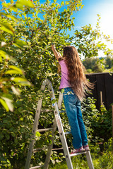 young girl standing on ladder and picking apples from tree