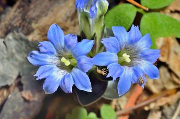 Wildflowers (Gentiana scabra) 7