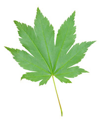 Leaf of maple 4