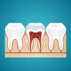 Three healthy human tooth