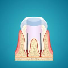 Healthy human tooth in cutaway