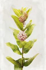 Watercolor Milkweed flowers