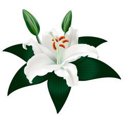белая лилия с листами на белом фоне