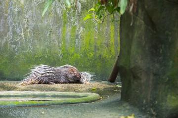 Хохлатый дикобраз лежит в вольере с каменными стенами и полом