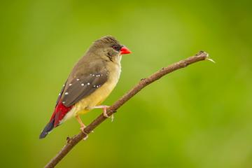 Female of Red Avadavat(Amandava amandava) on the branch