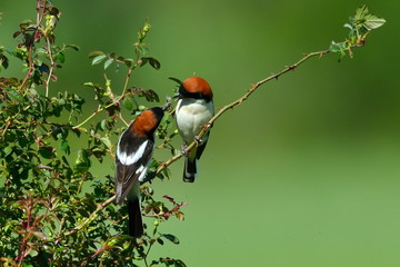 Woodchat shrike ( Lanius senator) outdoor