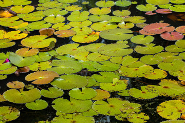 Natural lotus pond