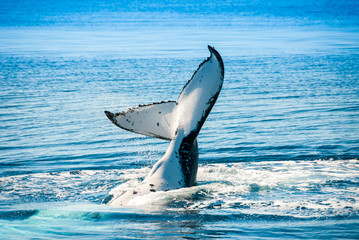 Humpback Whale in Hervey bay, Queensland (Australia)