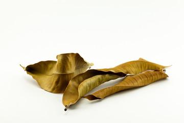 Dried Mango Leaf Isolated on white background