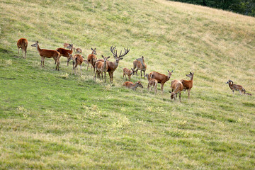 Deer whitetail and herd on a meadow in summer
