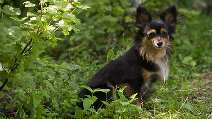Toy Terrier in the bushes