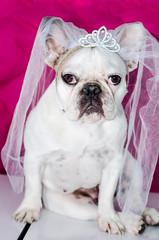 Chien avec voile de mariée, bulldog