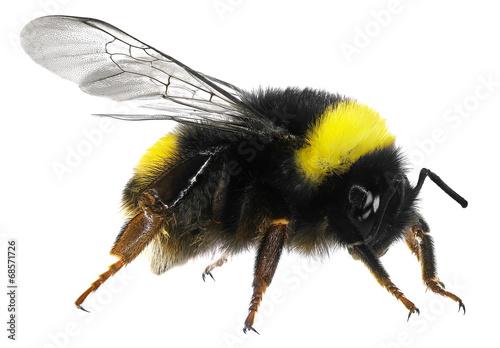 Staande foto Bee Bumblebee
