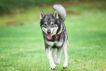 Swedish Elkhound