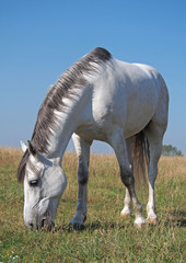 A grey horse grazes on the meadow on a sky background
