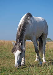 A grey horse grazes on to the meadow on a background sky