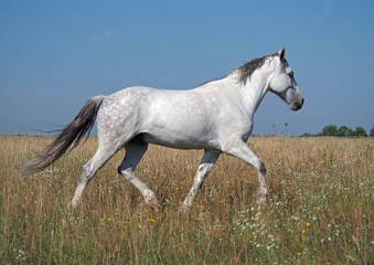 A grey horse trots on a summer pasture