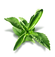 Stevia plant leaves isolated