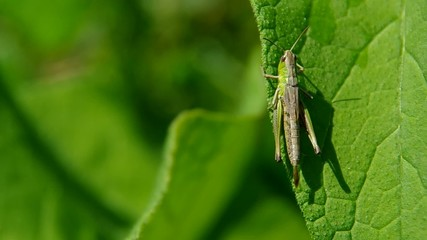 Grasshopper on green leaf in the wind