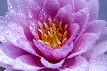 Pink Lotus flower or Waterlily