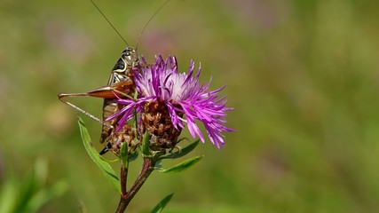 Grasshopper on purple thistle in the wind