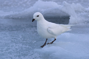 Snow petrel who sits on the ice Antarctic winter