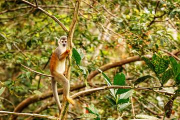 Saimiri  Sciures monkey