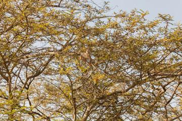 Saimiri Sciureus monkey