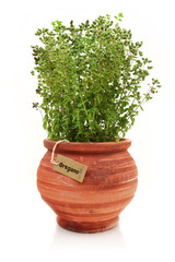 Fresh oregano plant in a clay pot