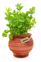 Fresh celery plant in a clay pot
