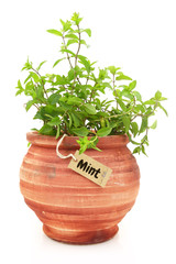 Fresh mint plant in a clay pot