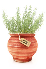 Fresh cotton lavender plant in a clay pot