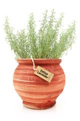 Fresh cotton lavender plant in a clay pot